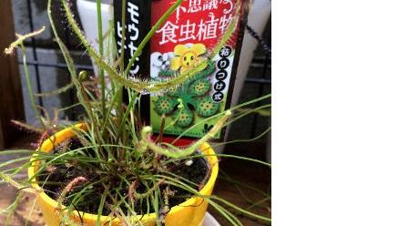 食虫植物モウセンゴケの画像