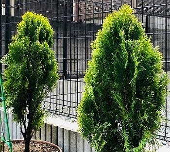 コニファーの木