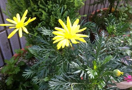 ユリオプスデイジーの花